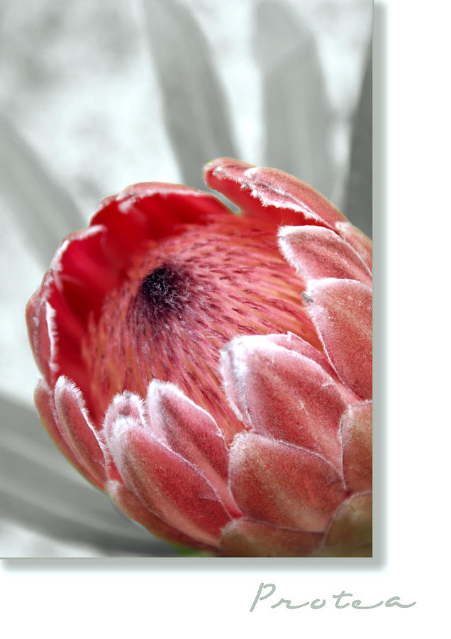 Pink Ice Protea Photograph