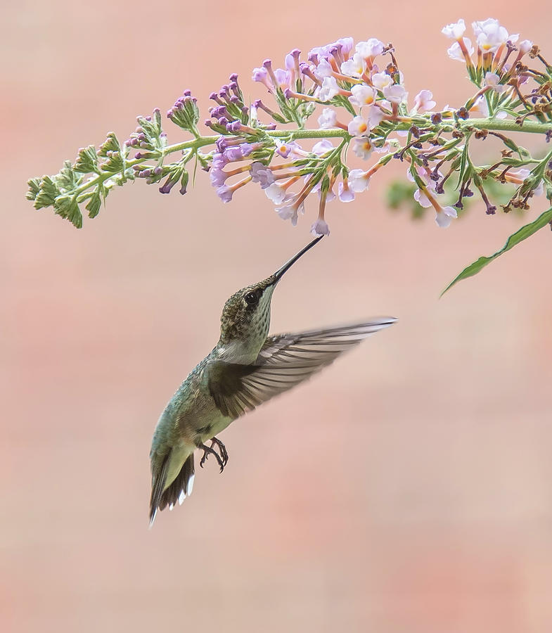 Hummingbird Photograph - Pink by Kathy Duncan