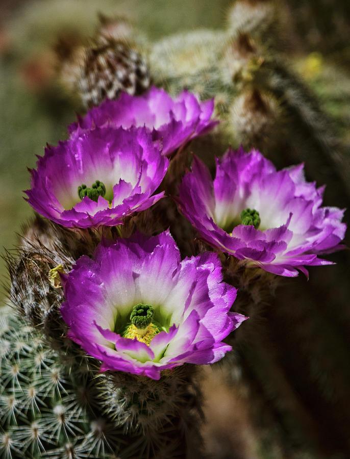 Pink Lady Finger Cactus Flowers Photograph By Saija Lehtonen