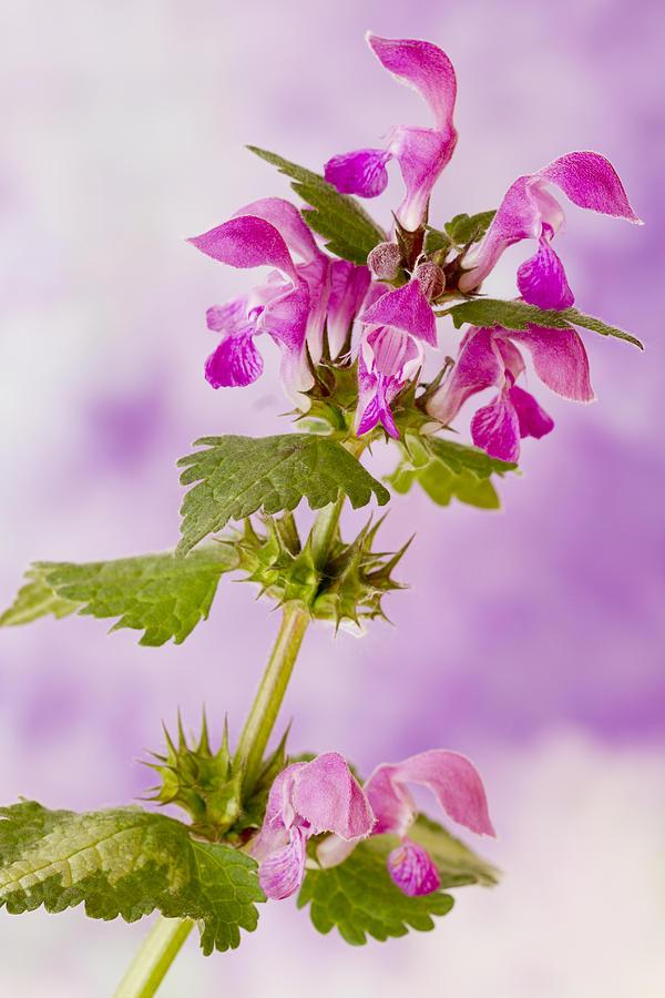 Flower Stem Photograph - Pink Lamium Macro  by Sandra Foster