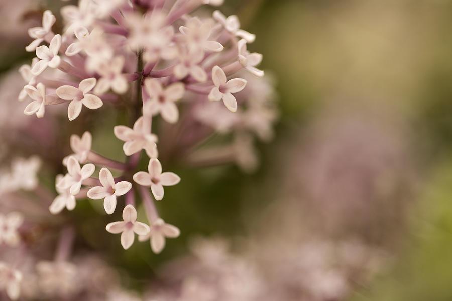 Lilacs Photograph - Pink Lilacs by Liz Howerton