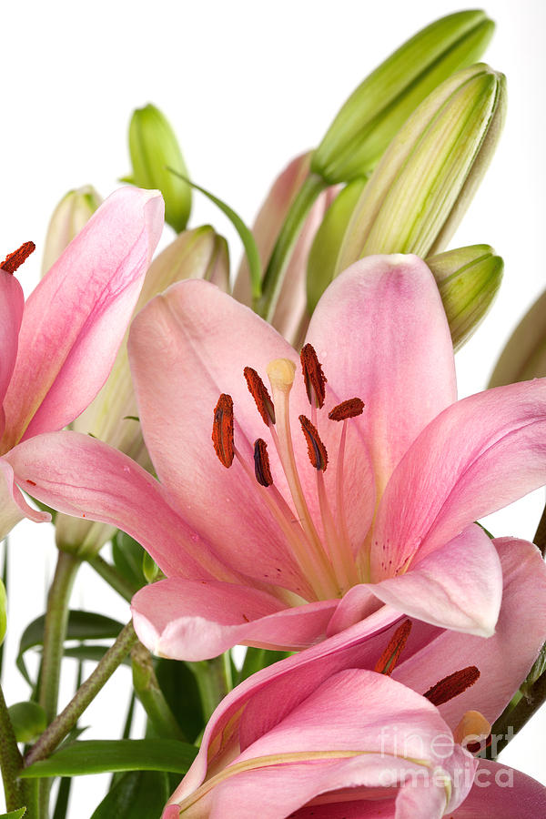 Lily Photograph - Pink Lilies 07 by Nailia Schwarz