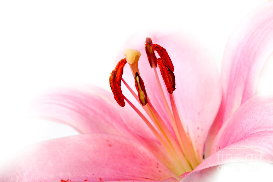 Lily Photograph - Pink Lilies 08 by Nailia Schwarz