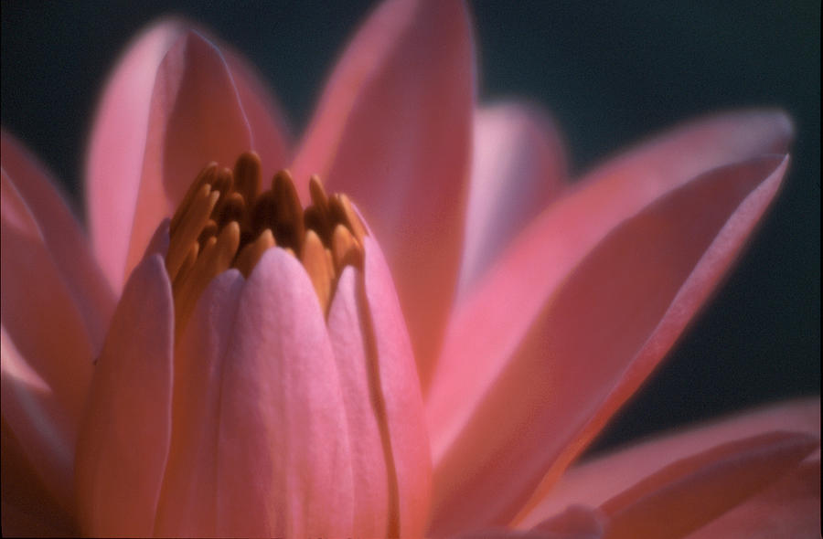 Lily Photograph - Pink Lily Close-up by Karen Garvin