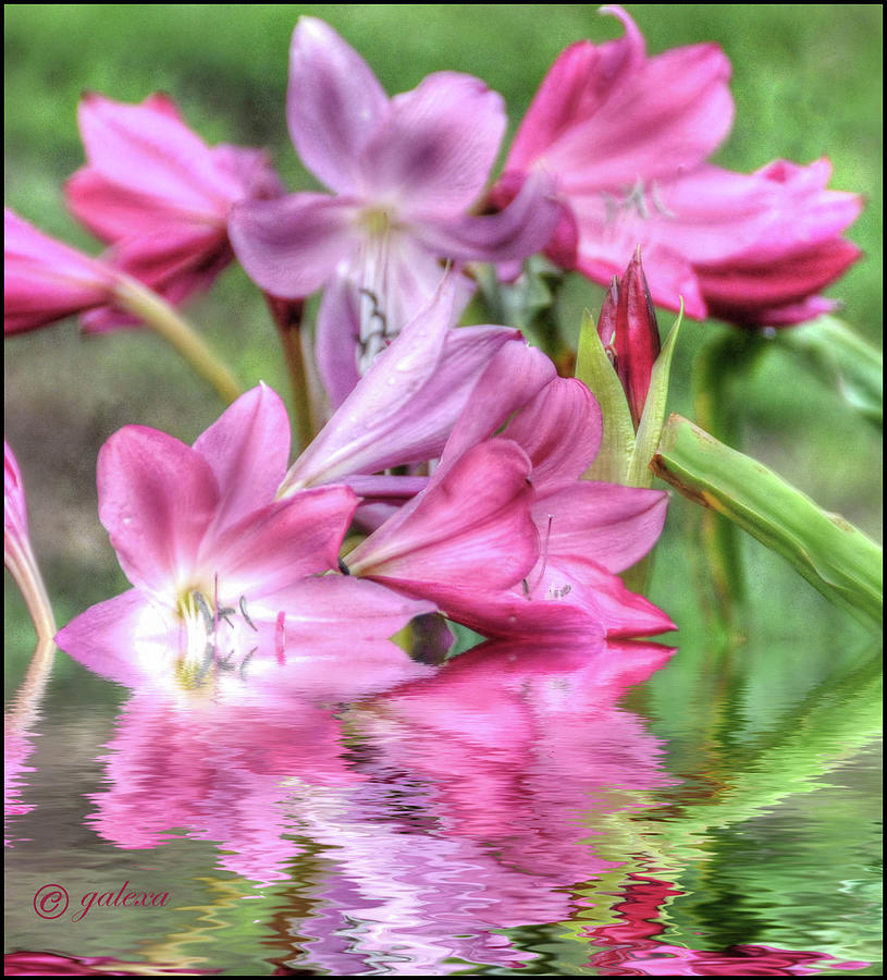 Pink Lily Flood by Geraldine Alexander
