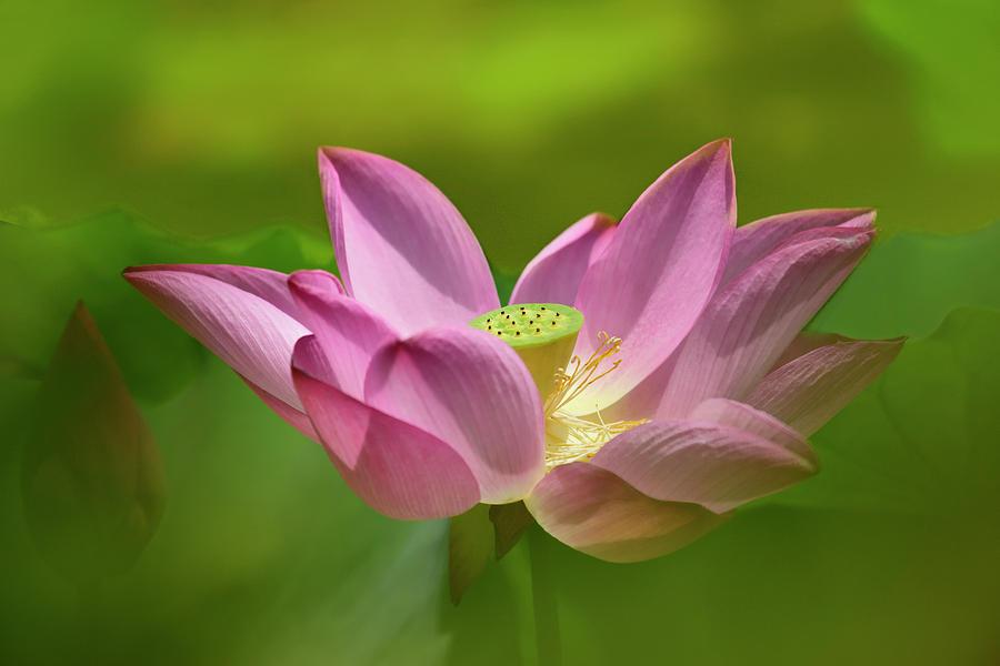 Pink Lotus Rising by Carol Eade