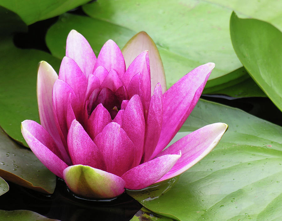 Pink Lotus Flower Photograph By Betty Denise