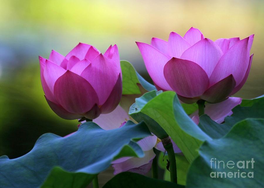 Lotus Photograph - Pink Lotus by Sabrina L Ryan