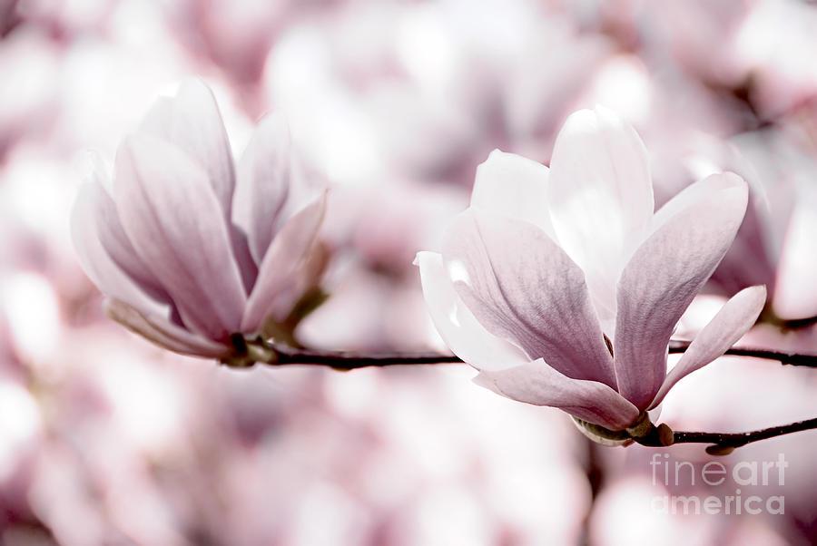 Magnolia Photograph - Pink Magnolia by Elena Elisseeva