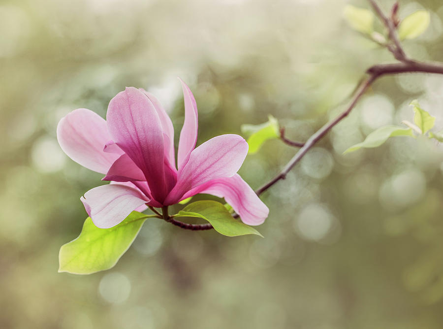 Pink Magnolia Flower Photograph By Jaroslaw Blaminsky