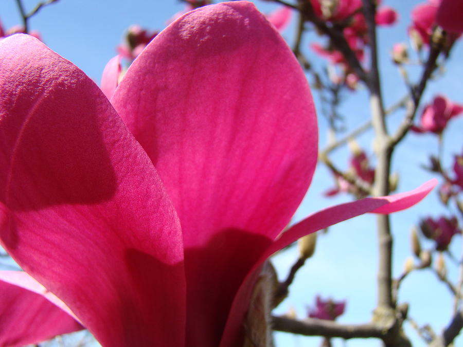 Magnolia Photograph - Pink Magnolia Flowers Magnolia Tree Spring Art by Baslee Troutman