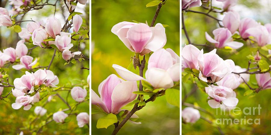 Pink magnolia triptych by Arletta Cwalina