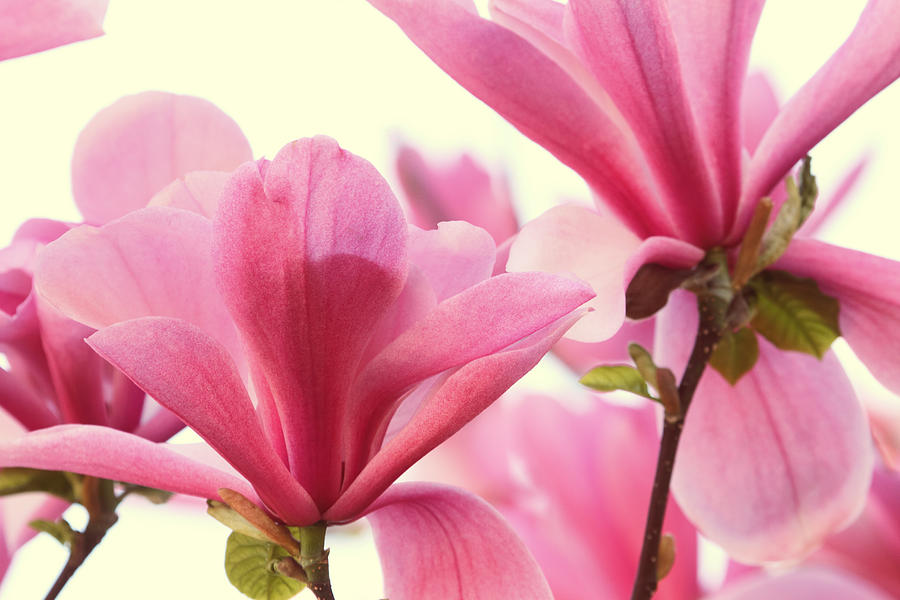 Magnolia Photograph - Pink Magnolias by Peggy Collins