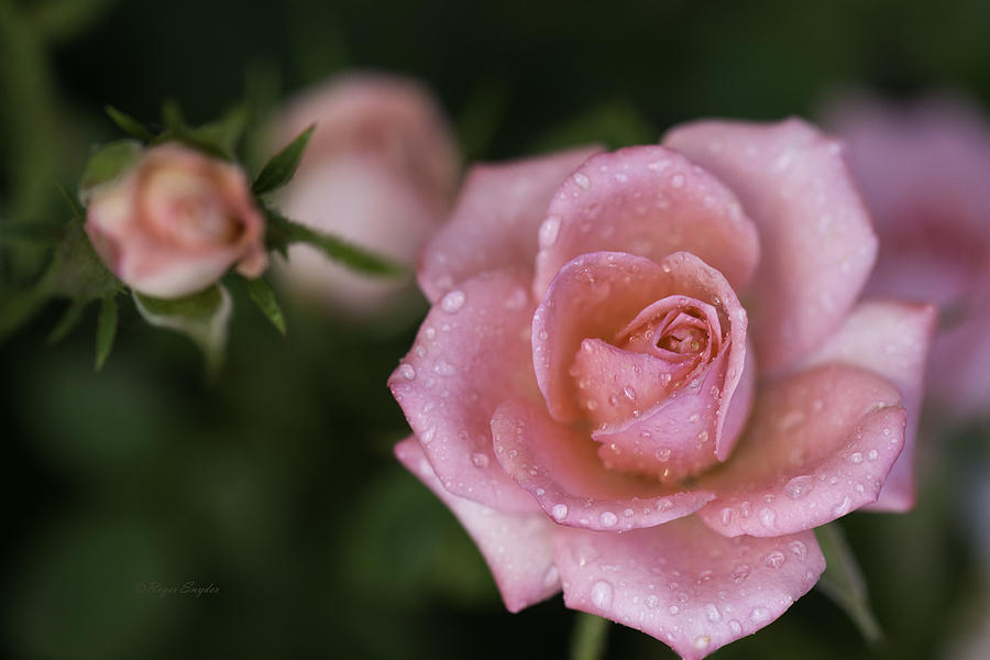 Color Prints Photograph - Pink Miniature Roses 3 by Roger Snyder