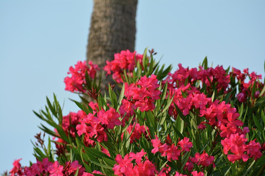 Oleander Photograph - Pink Oleander by Tamra Lockard