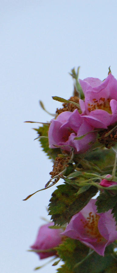 Pink Photograph - Pink On The Edge by Jean Booth