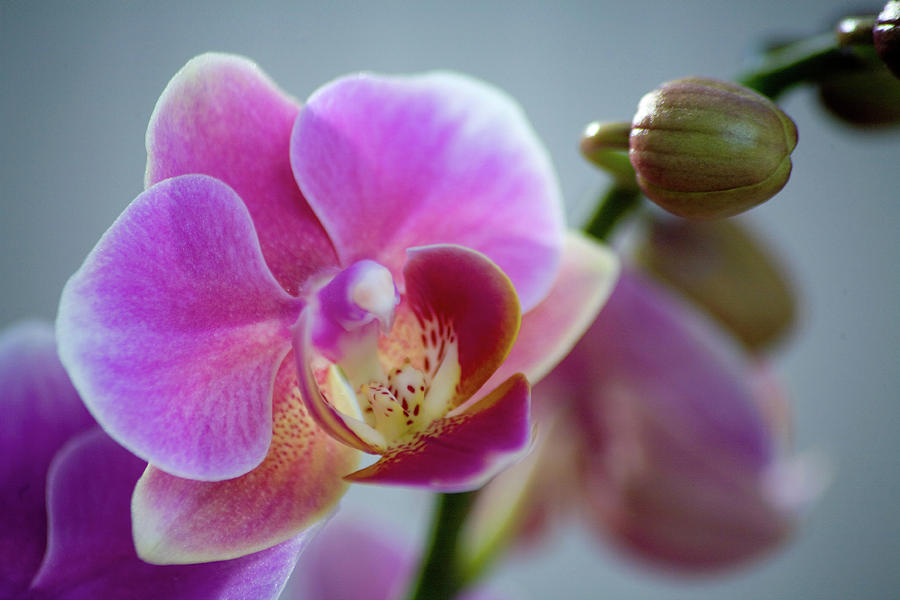 Flower Photograph - Pink Orchid by James Jones