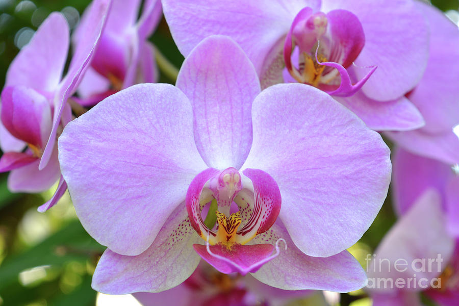 Flower Photograph - Pink Orchid by Josie Elias