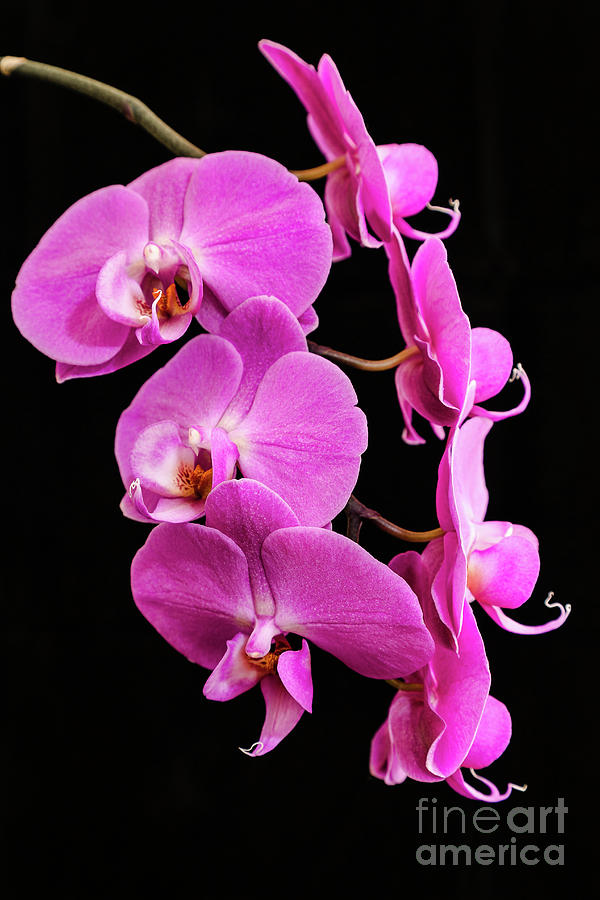 Pink Orchid with Black background by Andy Myatt