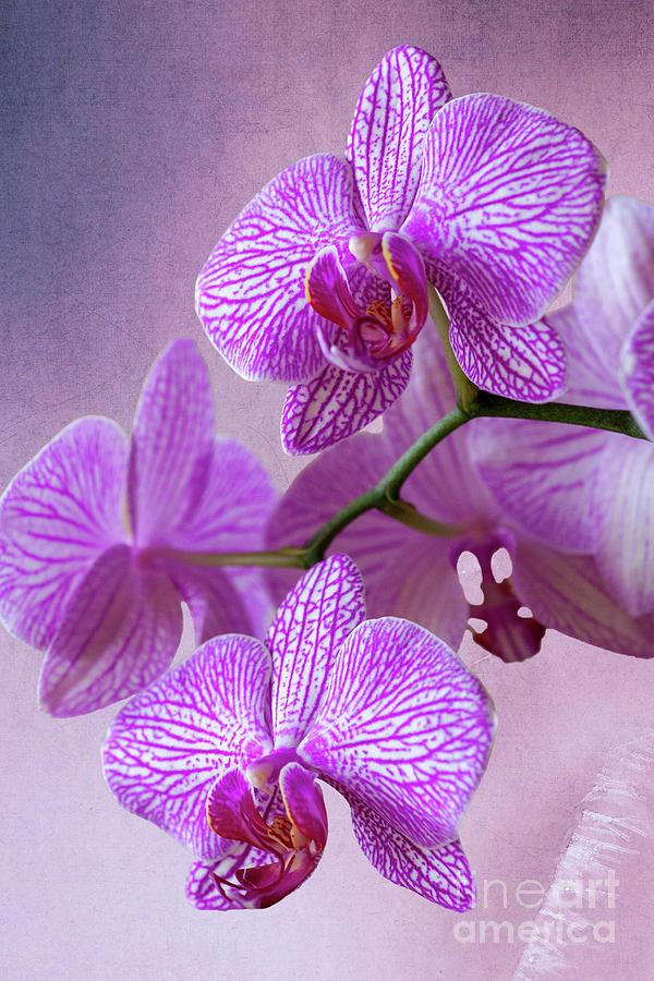 Pink Orchids Branch Photograph