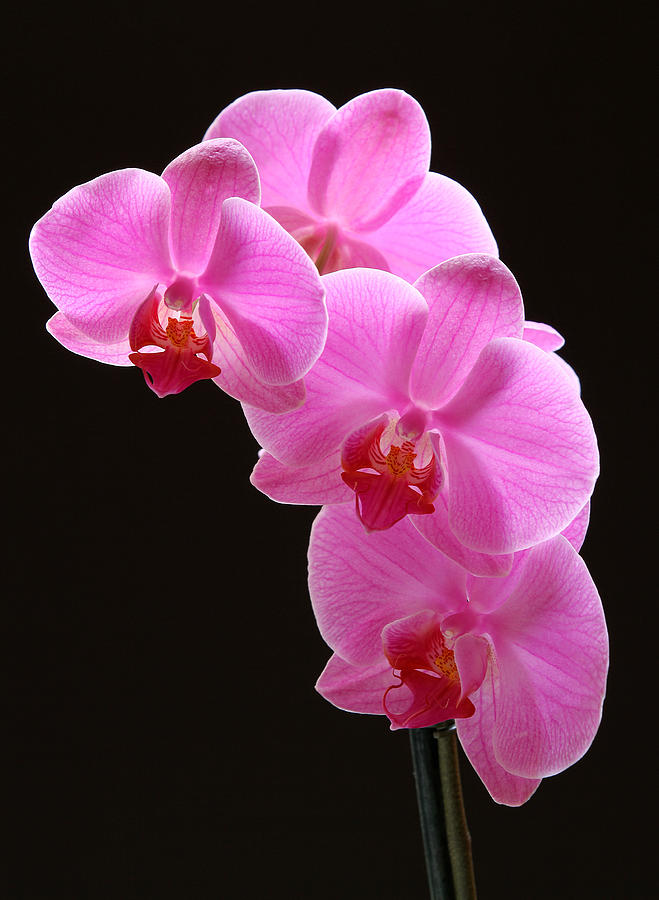 Orchid Photograph - Pink Orchids by Juergen Roth