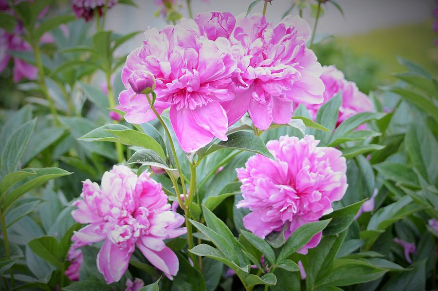 Pink Peonies by Lena Hatch