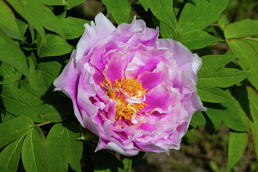 Flower Photograph - Pink Peony Blossom by Jeff Severson