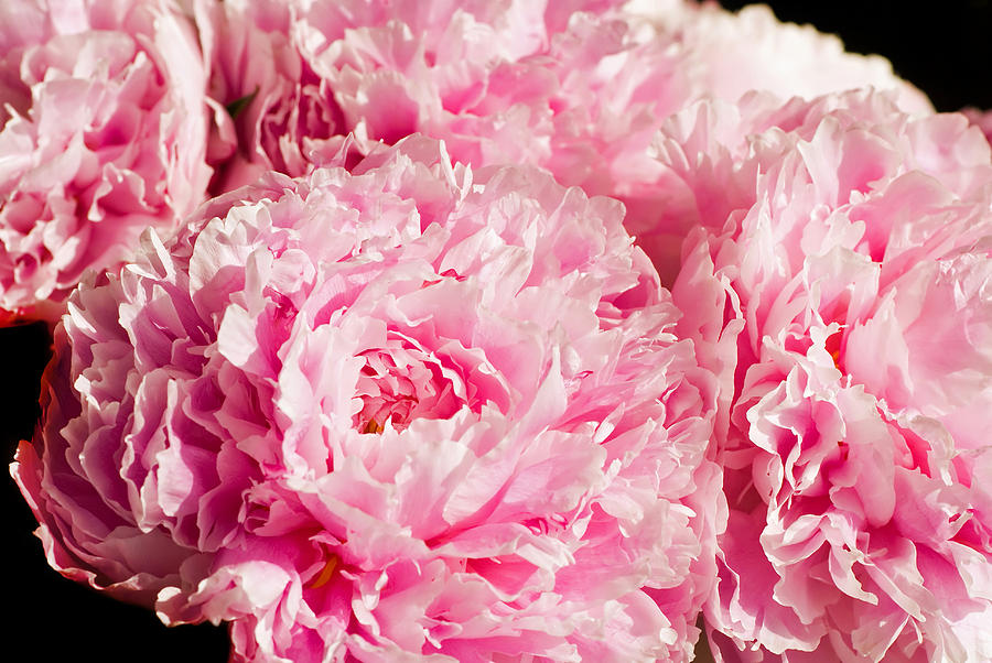 Botany Photograph - Pink Peony Bouquet by Mary Lane