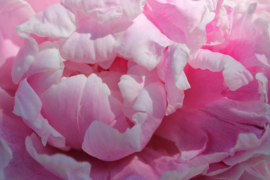 Pink Flower Photograph - Pink Peony by Lynne Guimond Sabean