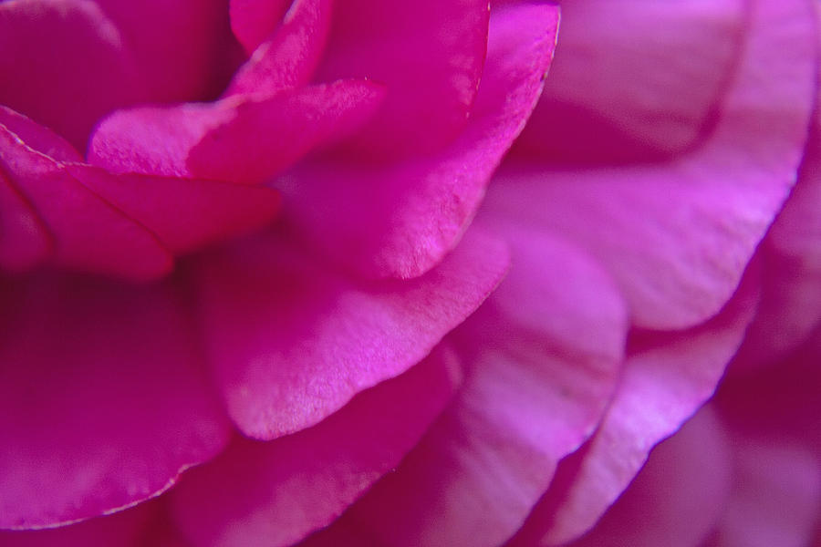 Pink Photograph - Pink Petals by M Valeriano