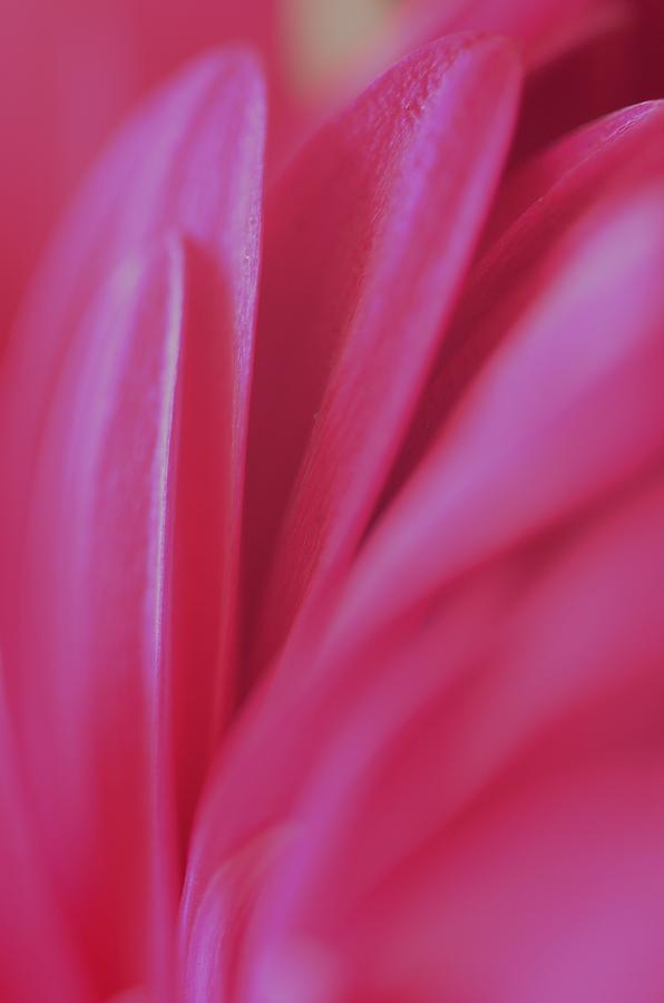 Pink Petals by Stella Marin
