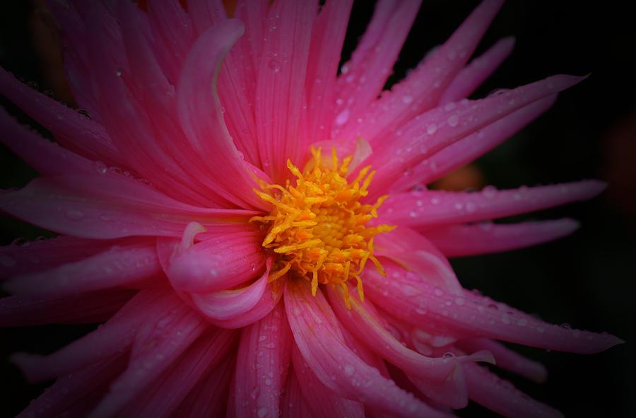 Dahlia Photograph - Pink Pinwheel by Richard Andrews