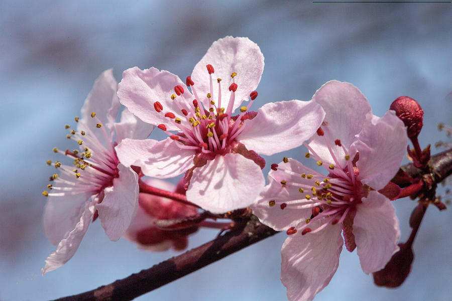 Plum Tree Blossoms Pictures