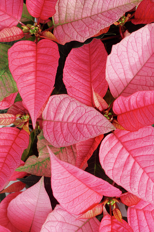 Christmas Photograph - Pink Poinsettias by Lynne Guimond Sabean