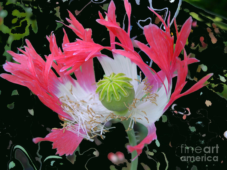 Photo Photograph - Pink Poppy by Addie Hocynec