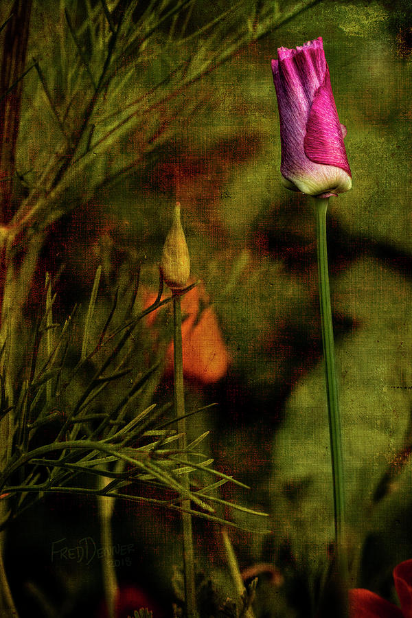 Wildflower Photograph - Pink Poppy by Fred Denner