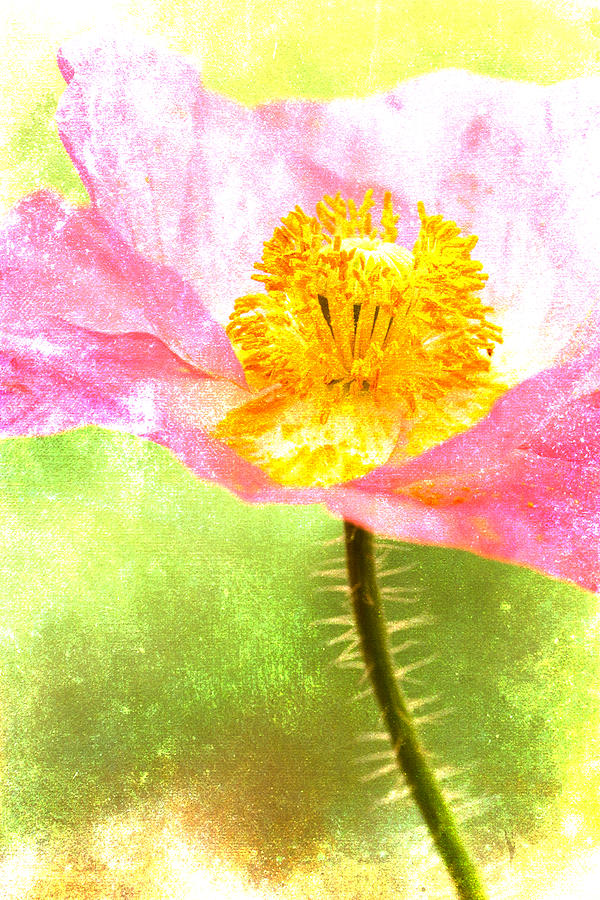 Poppy Photograph - Pink Poppy on Green by Carol Leigh