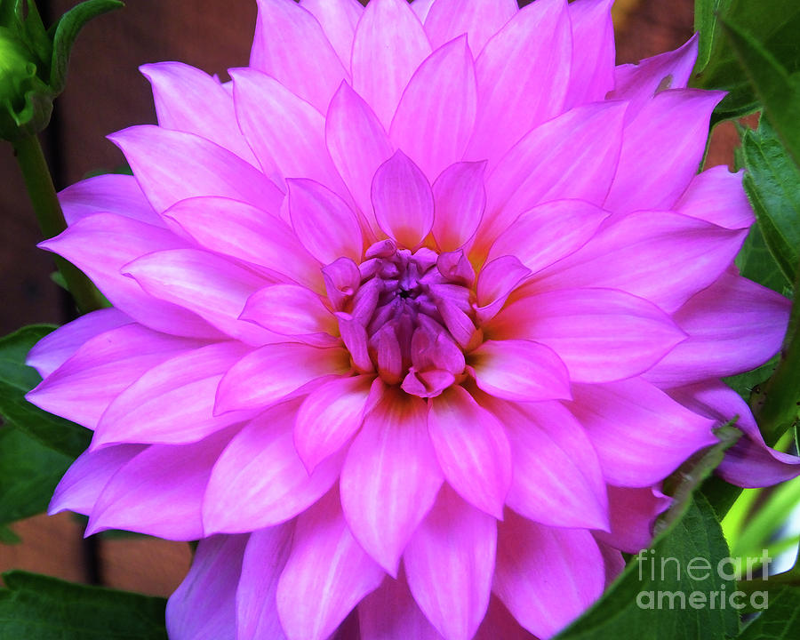 Pink Purple Dahlia Flower by Kristen Fox