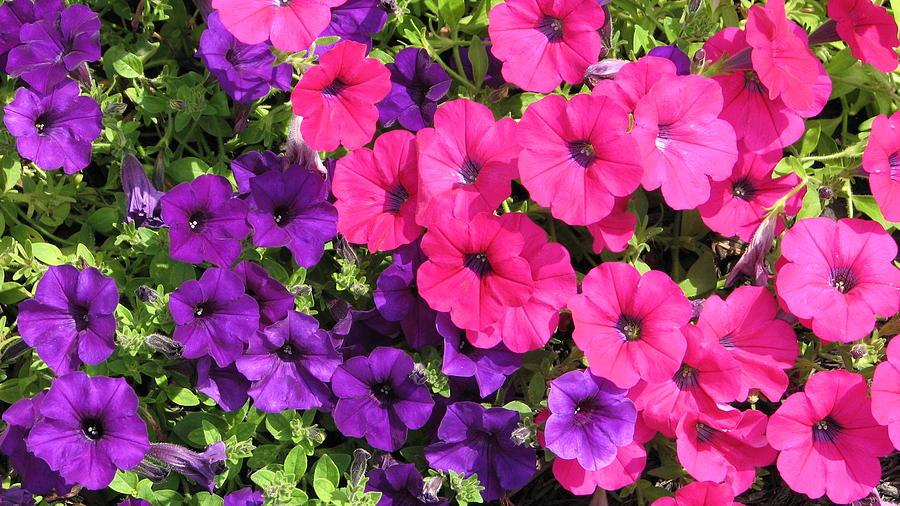 Pink purple flowers photograph by shigeo akiyama red photograph pink purple flowers by shigeo akiyama mightylinksfo
