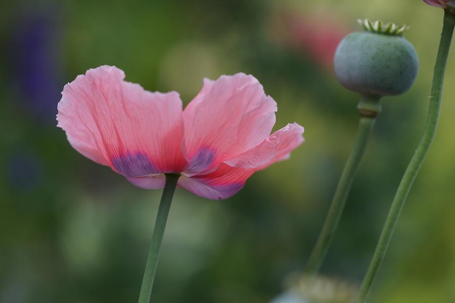 Pink purple poppy photograph by carrie goeringer poppy photograph pink purple poppy by carrie goeringer mightylinksfo