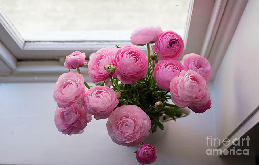 Above Photograph - Pink ranunuculus by the window by Natalie Board