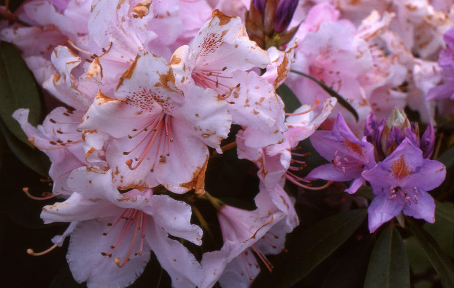 Pink Photograph - Pink Rhododendrums  by Lyle Crump