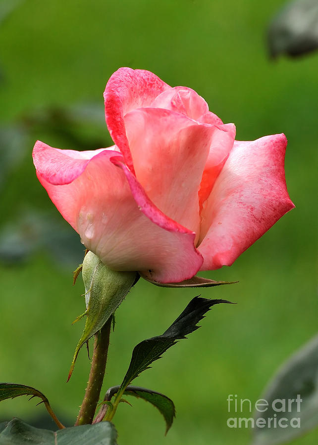 Rose Photograph - Pink Rose 3 by Edward Sobuta