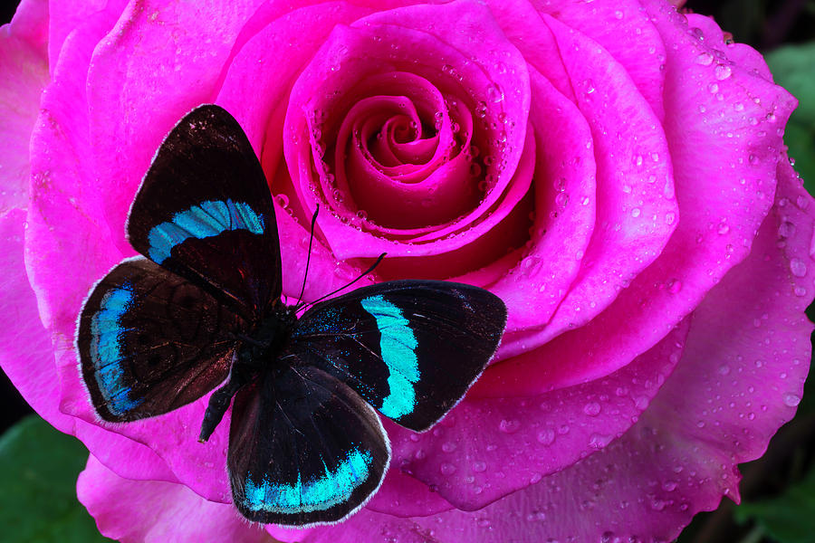Rose Photograph - Pink Rose And Black Blue Butterfly by Garry Gay