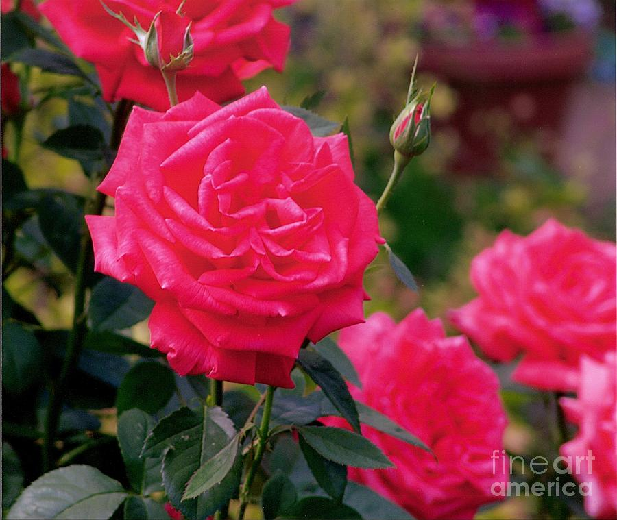 Pink Photograph - Pink Rose And Bud by Rod Ismay