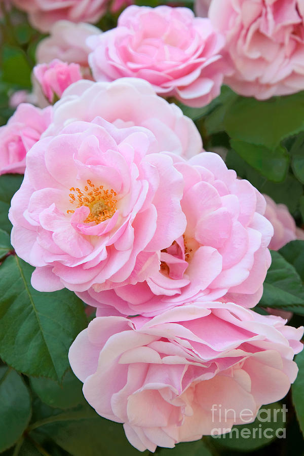 Pink Rose Cluster Photograph