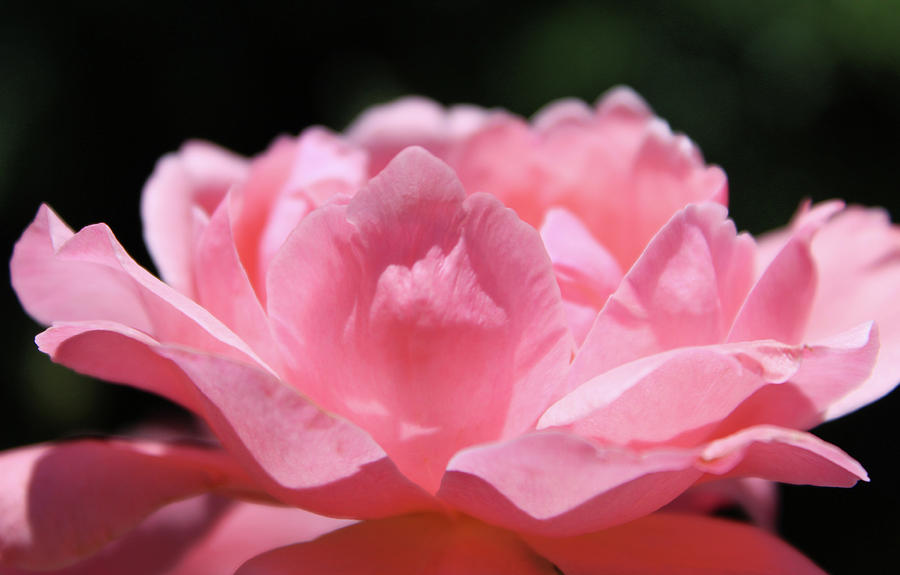 Pink Photograph - Pink Rose by Clyde Dellinger