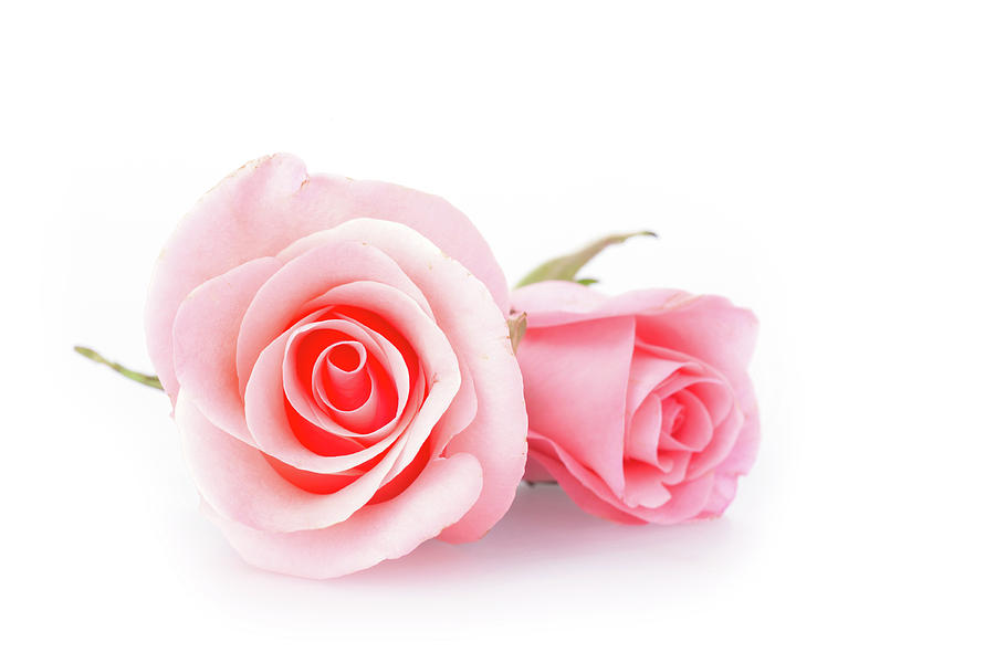 pink rose flower on white background photograph by sandy sheni