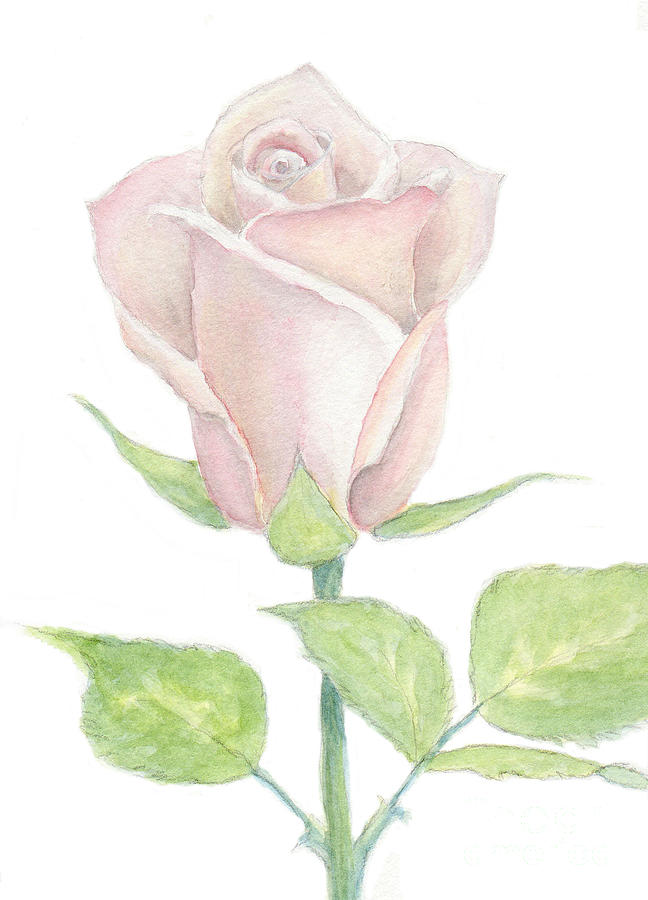 Pink Rose in Watercolor and Pencil by Elizabeth Oertel