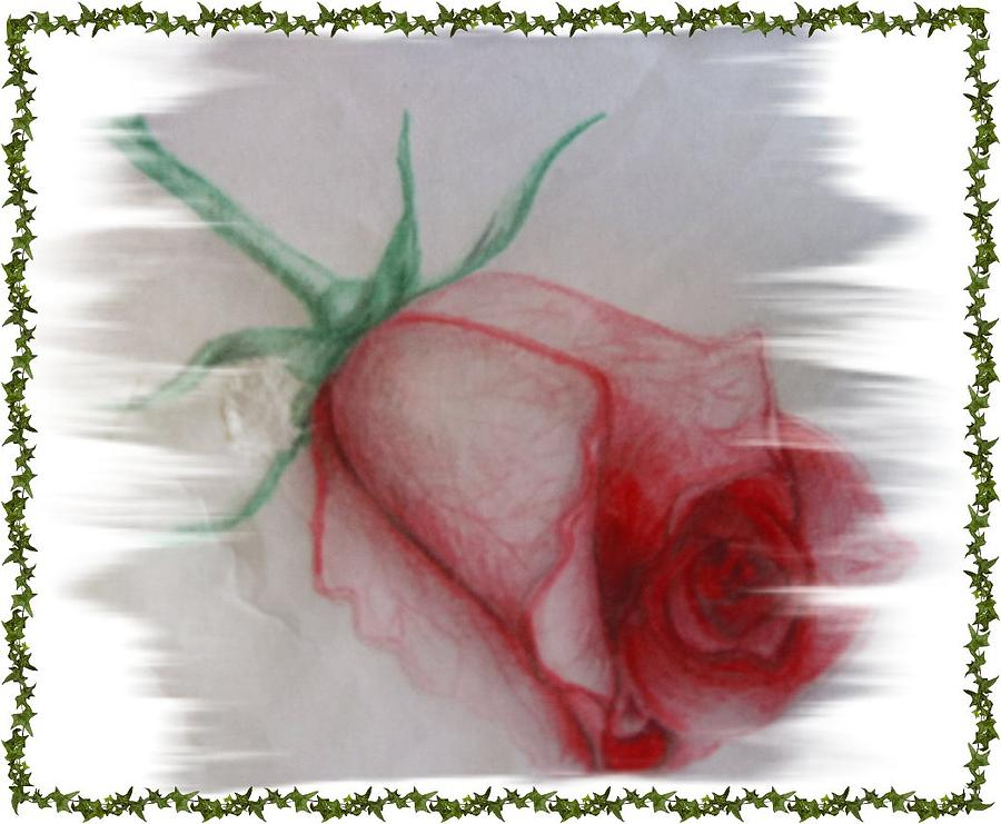 Floral Drawing - Pink Rose by Janet Gioffre Harrington